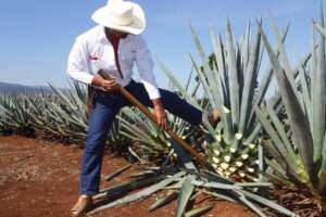 tequila agave mexicano
