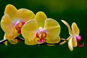 orquideas mexicanas